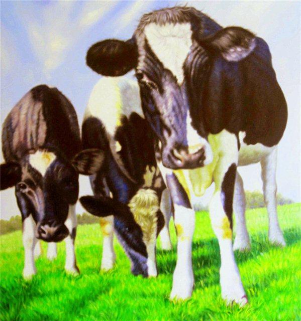 Drie koeien
