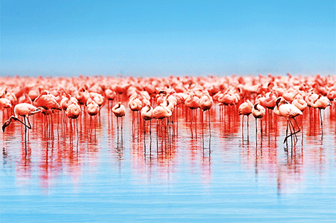 "Foto ""A lot of flamingo's"" geprint en afgelakt op 3 mm dibond"