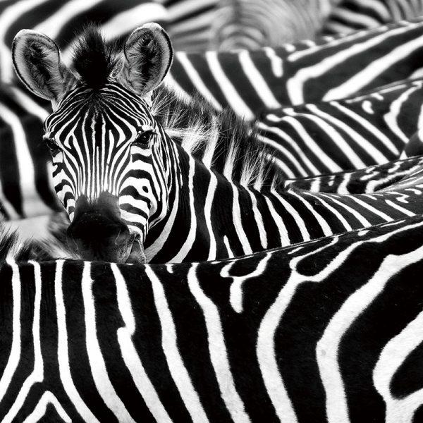Allemaal zebra's