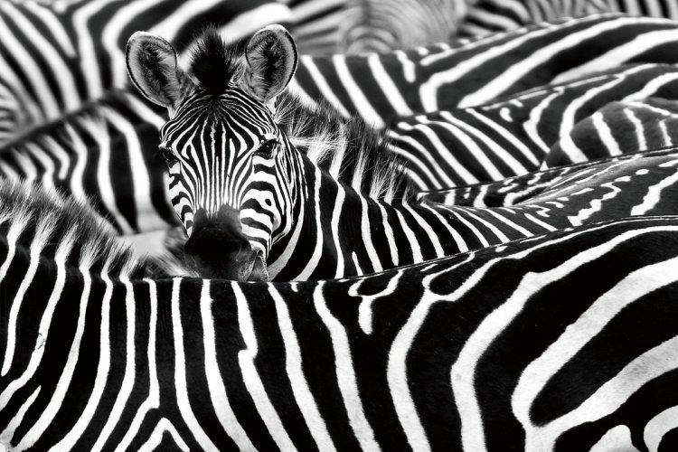 """Glasschilderij """"Allemaal zebra's"""""""