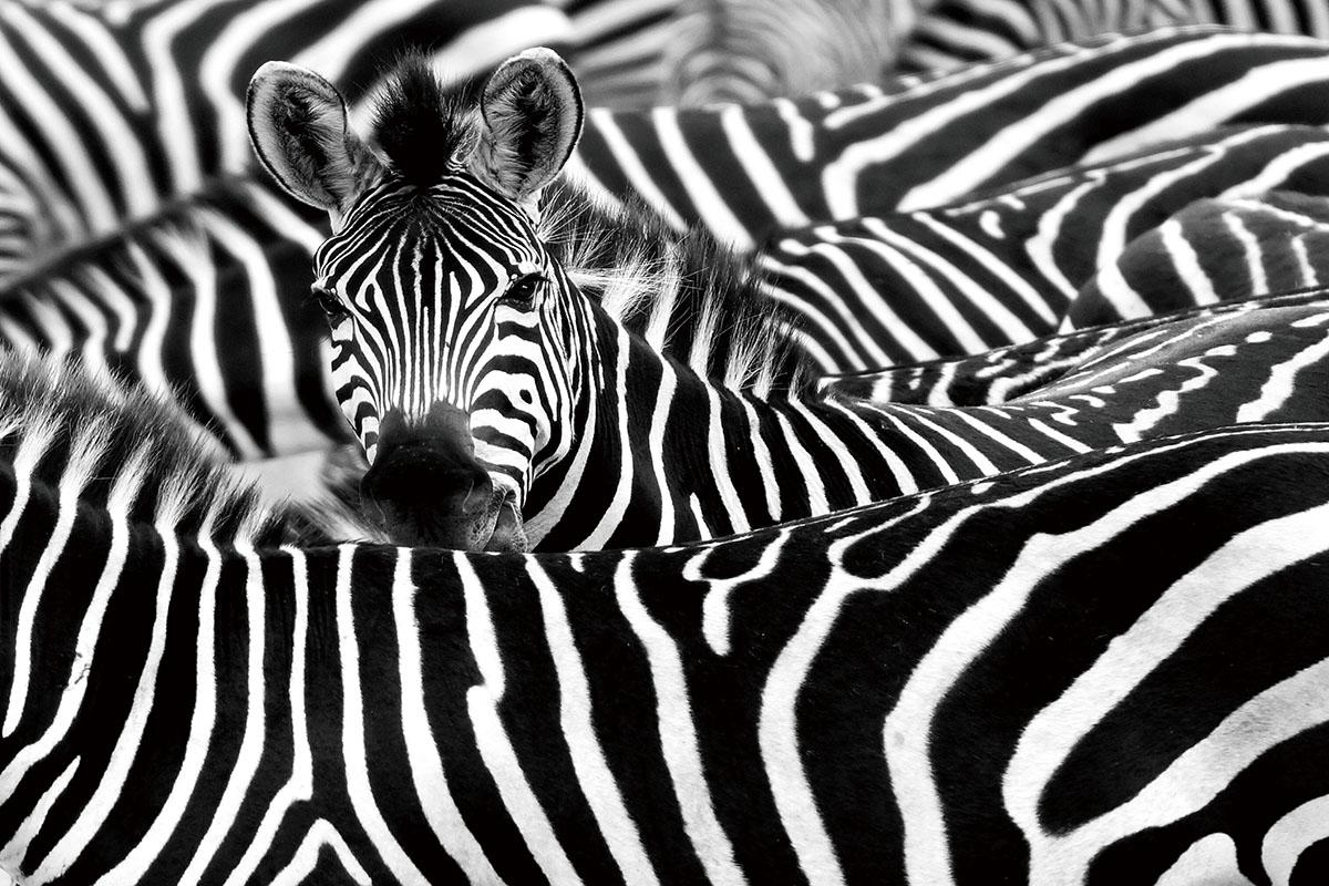 Kudde Zebra's Strepen