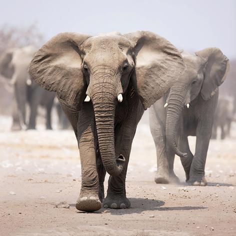 Wilde olifanten