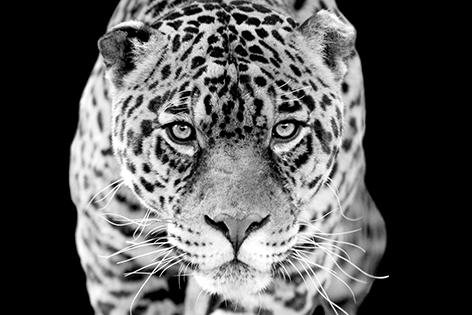 "Aluminium schilderij ""Hunting jaguar"" van Mondiart"