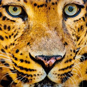 Close-up of a leopard (met lichte schade)