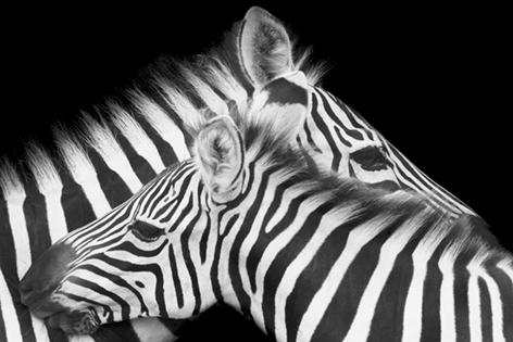 Caring zebra mom