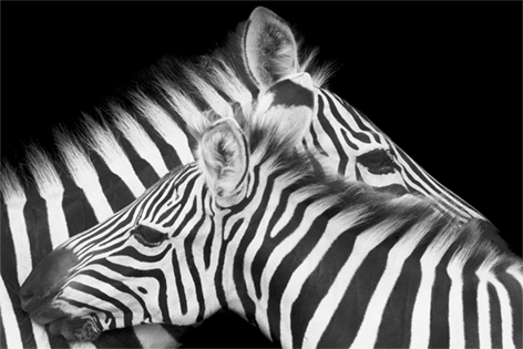 "Aluminium schilderij ""Caring zebra mom"" van Mondiart"