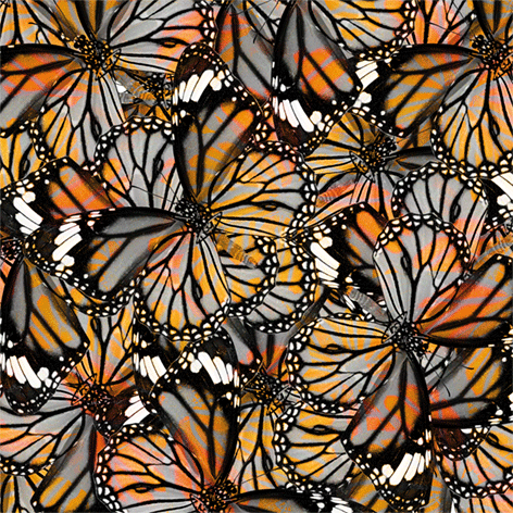 A group of orange butterflies
