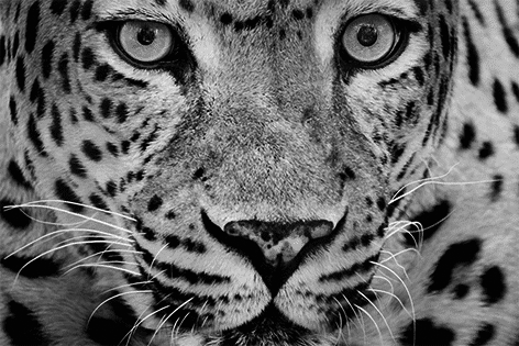 Close-up leopard