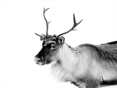 """Aluminium schilderij """"Hert in de sneeuw"""" van Mondiart"""