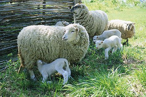 """Aluminium schilderij """"Kleine kudde schapen"""" van Mondiart"""