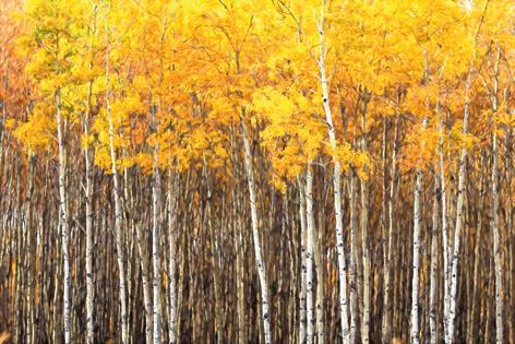 """Aluminium schilderij """"Beautiful Aspen trees"""" van Mondiart"""