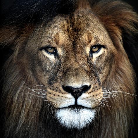 Leeuw close up II kleur