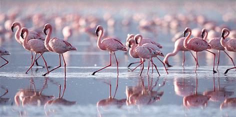 glas schilderij flamingos 1950095