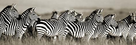 glasschilderij zebra's 2040068