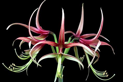 A pink amaryllis