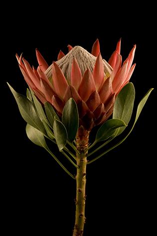 A king protea