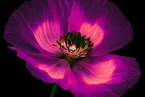 A magic pink poppy