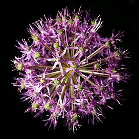 """Aluminium schilderij """"A purple onion flower"""" van Mondiart"""