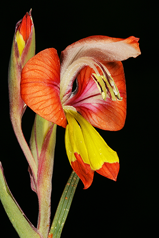 A red lily
