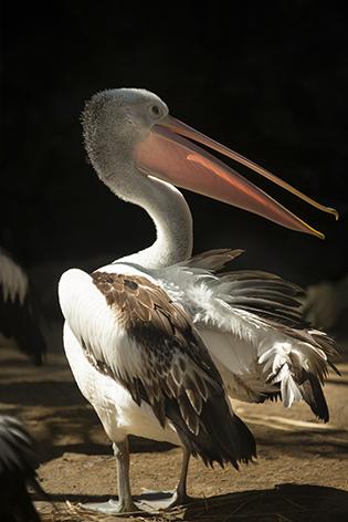 "Aluminium schilderij ""Australian pelican"" van Mondiart"