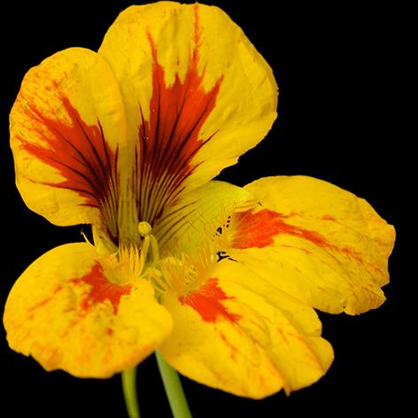 """Aluminium schilderij """"Beautiful yellow and red flower"""" van Mondiart"""