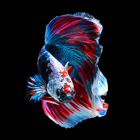 "Aluminium schilderij ""Fighting betta fish"" van Mondiart"