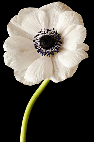 A black and white anemone
