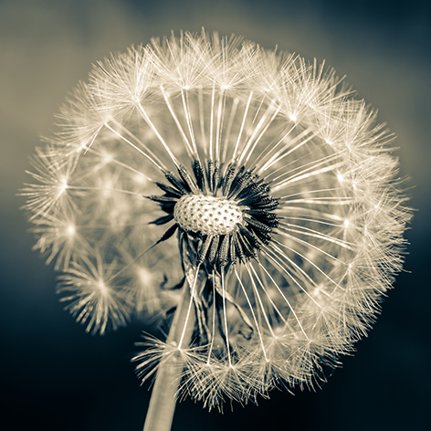 Black and white dandelion Bloem Paardenbloem
