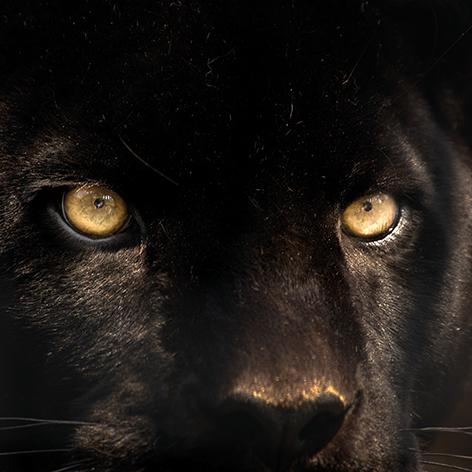 Black cougar Poema