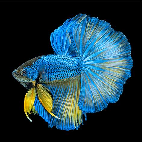 Beautiful blue long tail fish