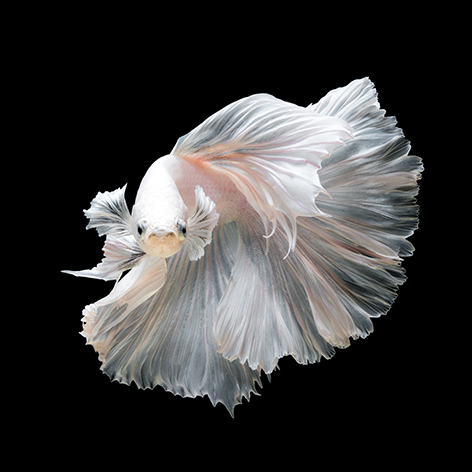 "Aluminium schilderij ""A beautiful white betta fish"" van Mondiart"