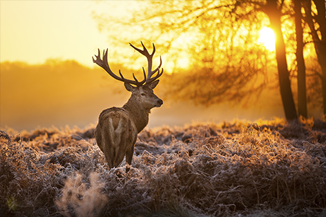 Deer in Morning Sun