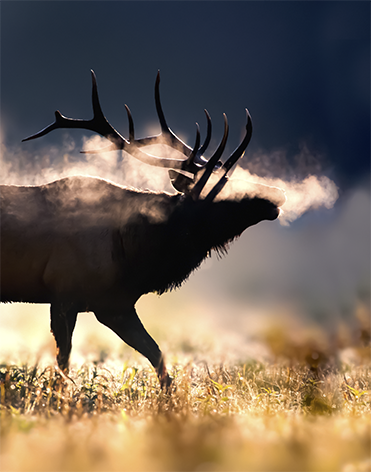 Male elk with full set antlers