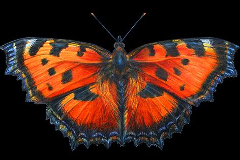 A orange butterfly