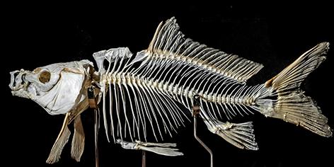 Skeleton of a carp fish