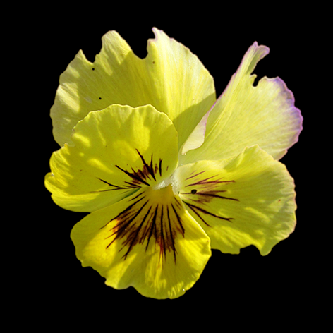 Yellow pansy flower II