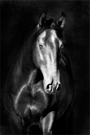"Aluminium schilderij ""Charming black horse"" van Mondiart"