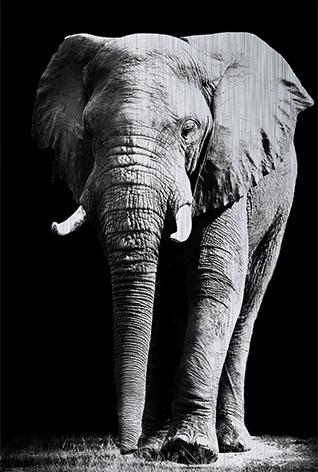 Majestic elephant Olifant Zwart wit Ivoor
