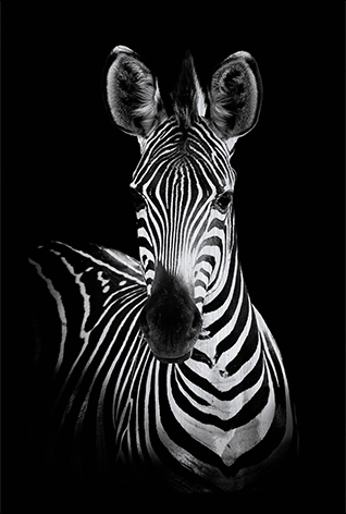 Lovely zebra