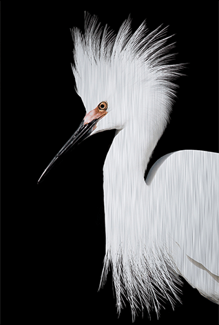 "Aluminium schilderij ""White heron face left"" van Mondiart"