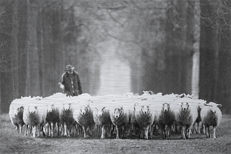 "Aluminium schilderij ""Shepherd with sheep"" van Mondiart"