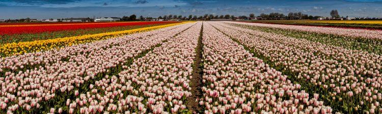 Tulpenveld in de Bollenstreek van Lisse