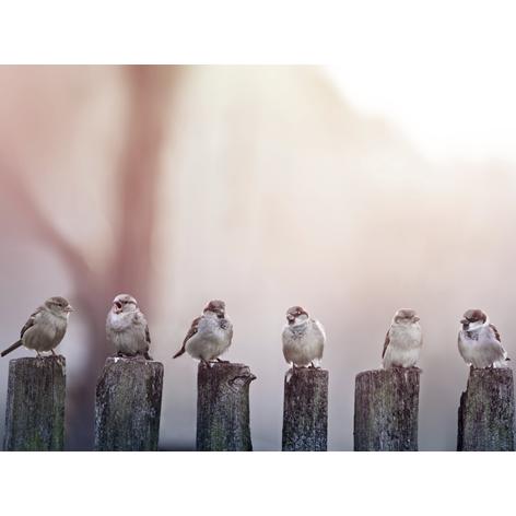 "Aluminium schilderij ""Sparrows in a row on a wooden fence"" van Mondiart"