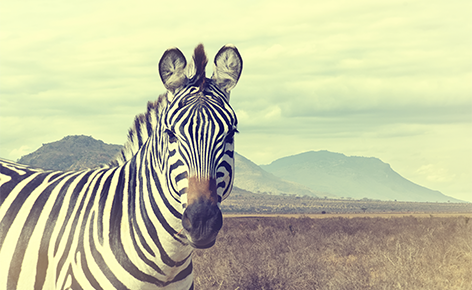 Wild African zebra