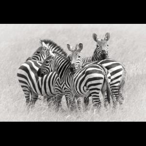 Kudde zebra's