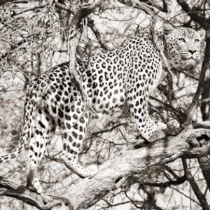 Leopard climbing on a tree