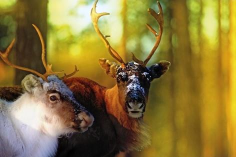 """Aluminium schilderij """"Reindeers"""" van MondiArt"""