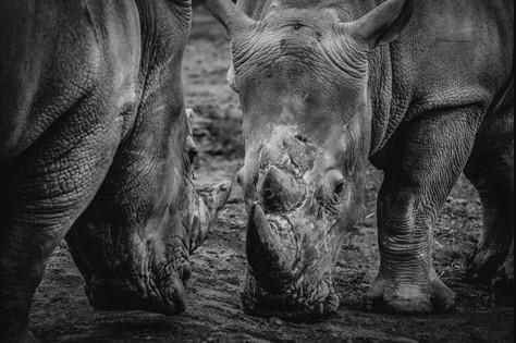 """Aluminium schilderij """"Rhinos"""" van MondiArt"""