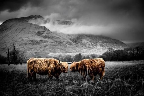 "Aluminium schilderij ""Scottisch Highland' van MondiArt"