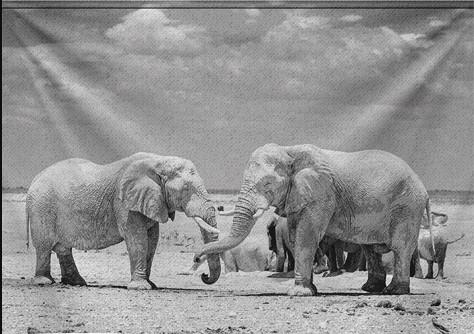 """Wandkleed """"Mono photo of Elephants"""" van Mondiart"""